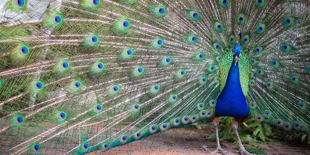 havana hotel nacional peacock